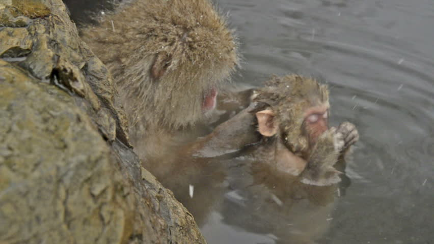 A baby snow monkey with mother, Jigokudani, Nagano, Japan. These monkeys are famous throughout the world as they live in the snow, and use natural hot spring to keep warm. - HD stock footage clip