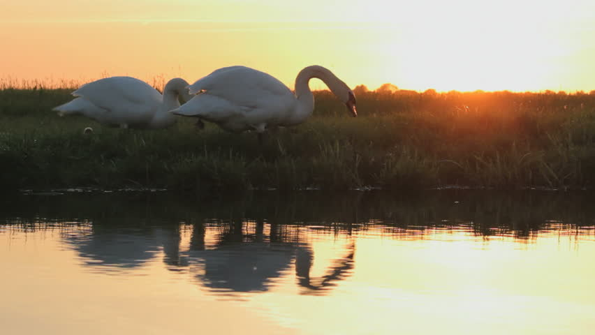 Swans with babies with reflection in the water and sunset - HD stock video clip