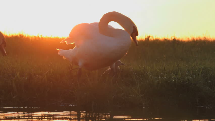 Swans with babies at  sunset - HD stock footage clip