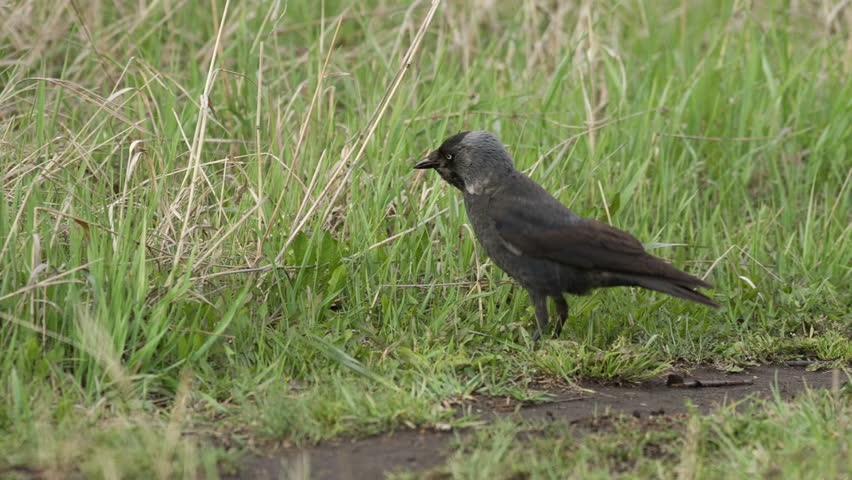 Jackdaw (Corvus monedula)  in the grass - HD stock video clip