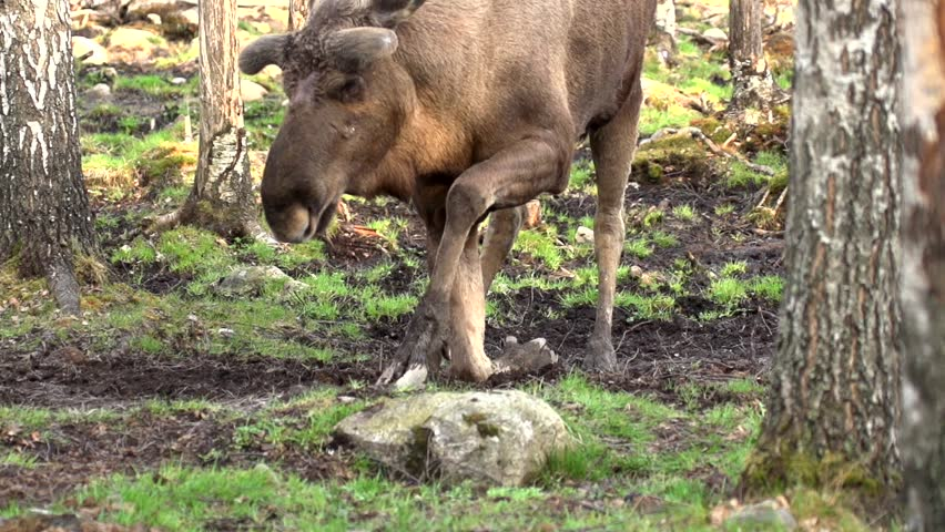 moose in sweden - HD stock footage clip
