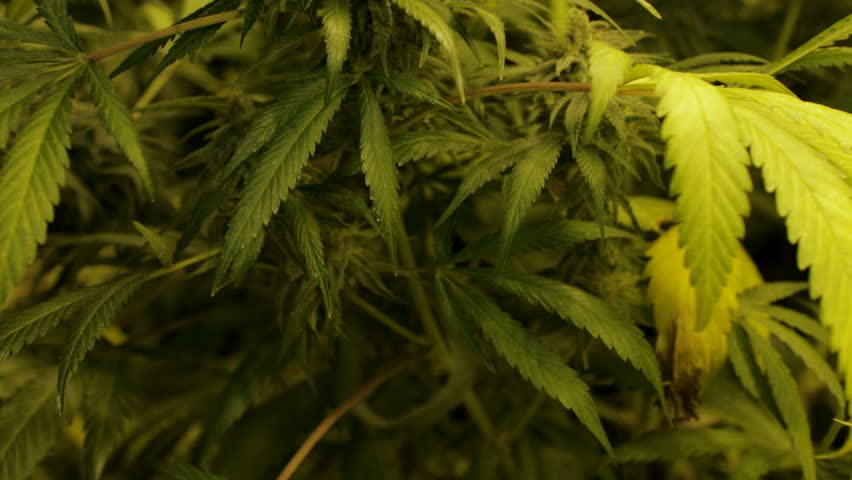 The camera tilts up from bottom to top of a mature budding marijuana plant ready for harvest