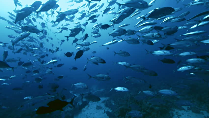 giant school of fish tropical reef, shot in the Red Sea, Sudan underwater shot, total shot