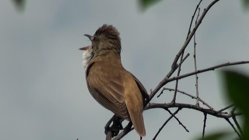 sound effects instrument bird nightingale