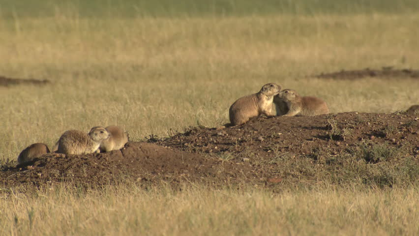 blacktailed prairie dog several fall mound colony town