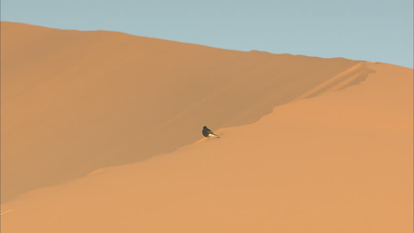 MOROCCO - Bird on top of a sand dune in the Sahara desert - HD stock video clip