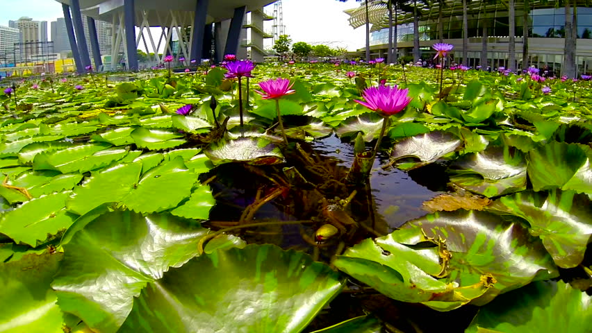 singapore may 2014 time lapse of water lilies in pond by