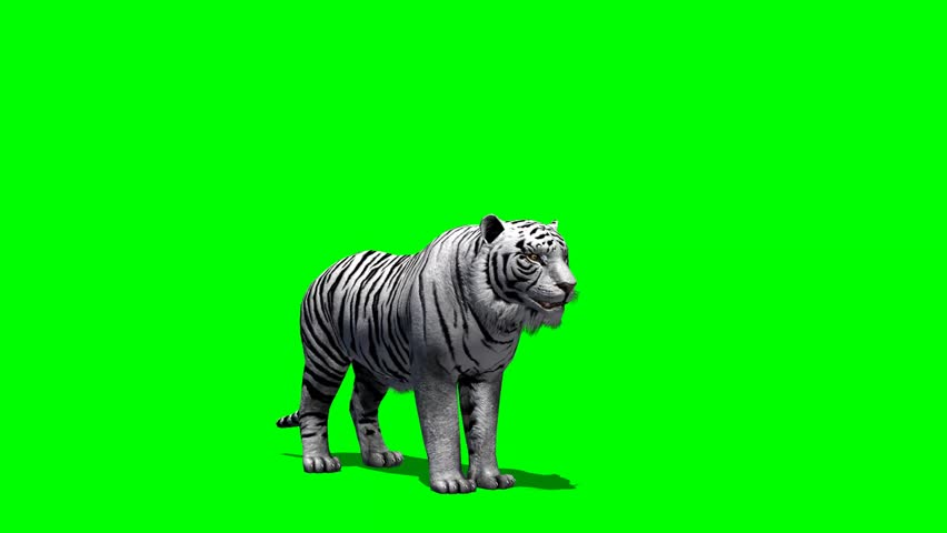 White Tiger roars - green screen | Shutterstock HD Video #6548012