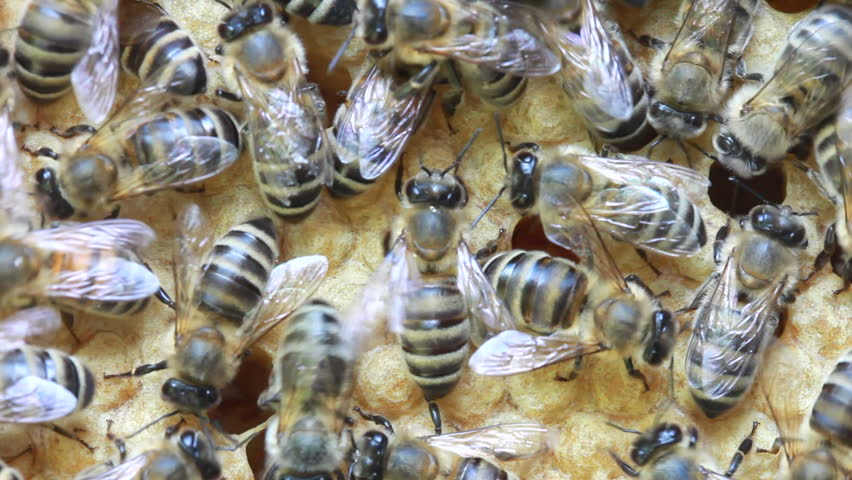 bees inside hive  - HD stock footage clip