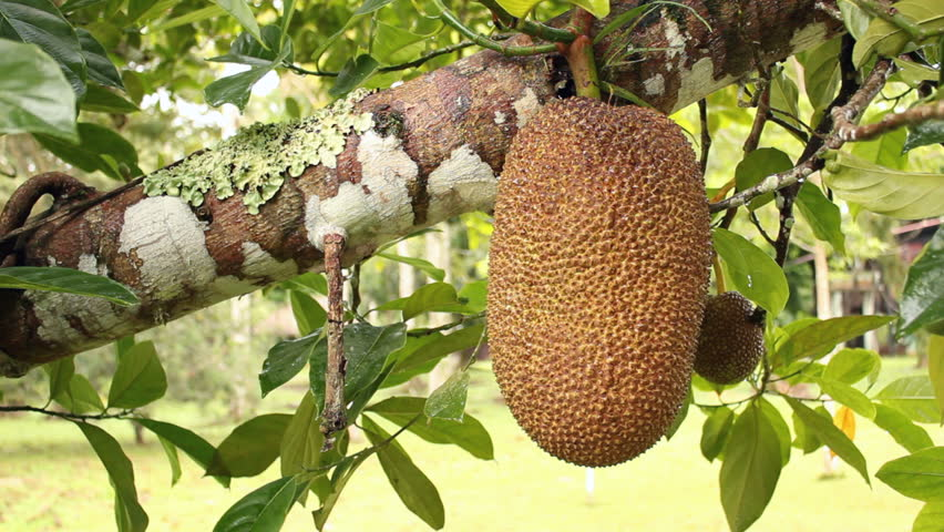 Soursop or Guanabana (Annona muricata) a tropical fruit tree growing ...