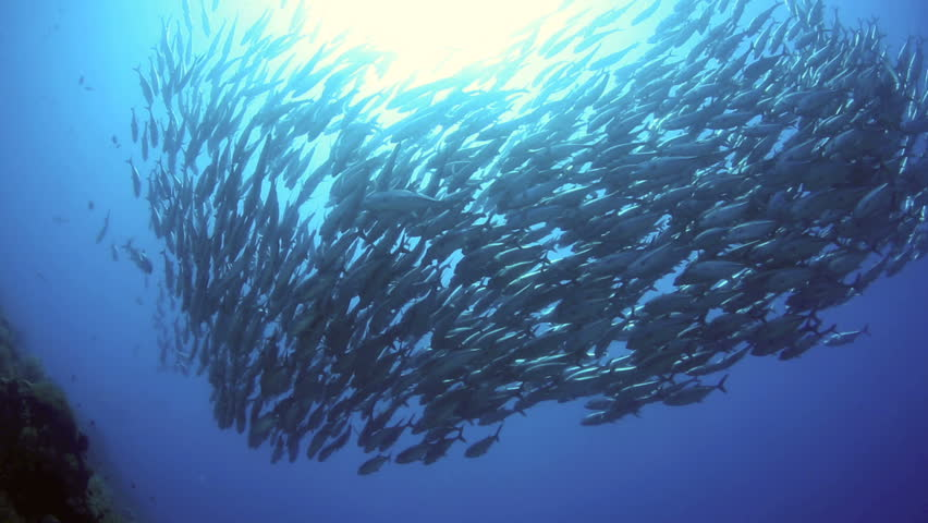 School of big eye trevally swimming in tight formation underwater at Balicasag Island, Philippines