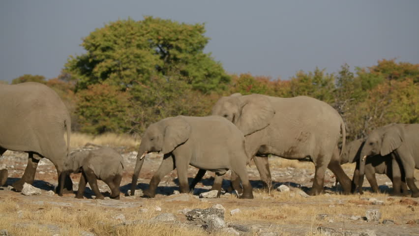 Elephants walking in the savannah, right to left