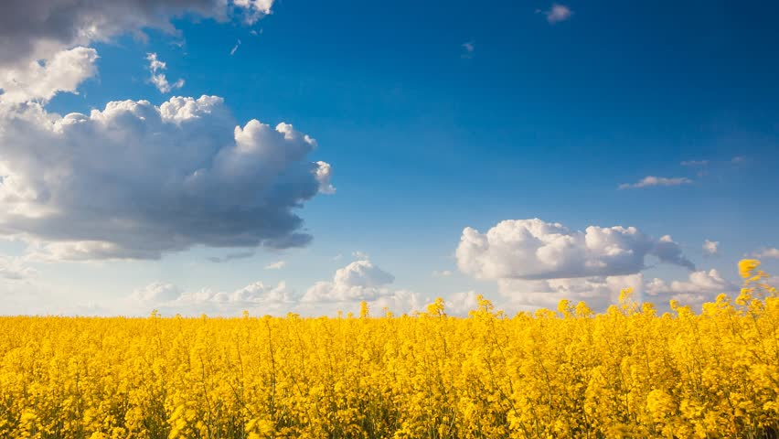 Time lapse clip. Yellow rapes flowers and blue sky with white fluffy clouds. Ukraine, Europe. Beauty world. Full HD video (High Definition)