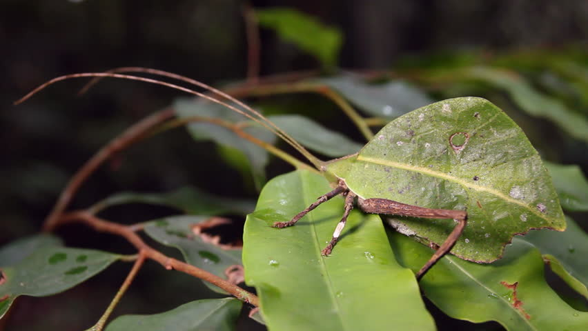 Leaf mimic katydid with rainforest in the background, Ecuador