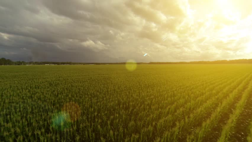 Flying over a golden cornfield in beautiful farmland with sun illuminating the field.