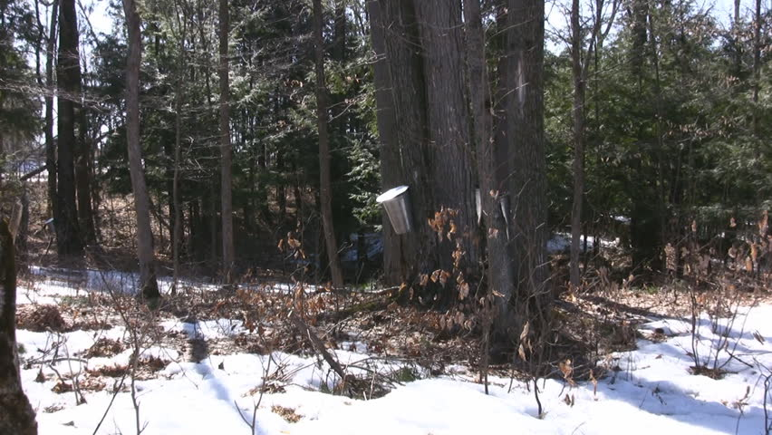 Maple Trees Tapped To Harvest Sap For Maple Syrup - HD stock video clip