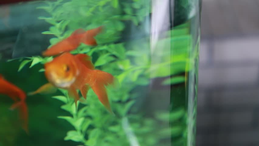 Little koi gold fish in an aquarium stock footage video for Little koi fish