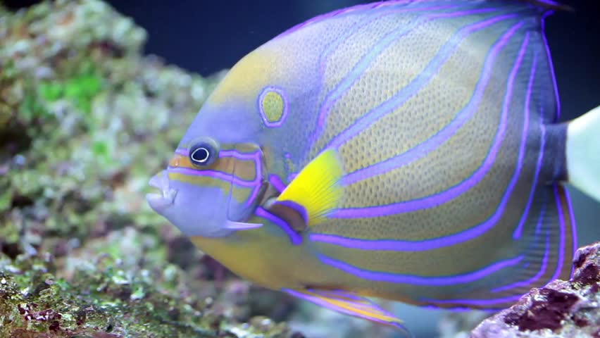 Sea life: exotic tropical coral reef with Annularis Angelfish (Pomacanthus annularis) on natural blue background.