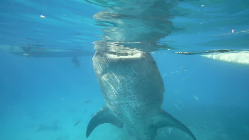 Whale shark underwater filter feeding on krill fed out by fishermen in Oslob, Philippines