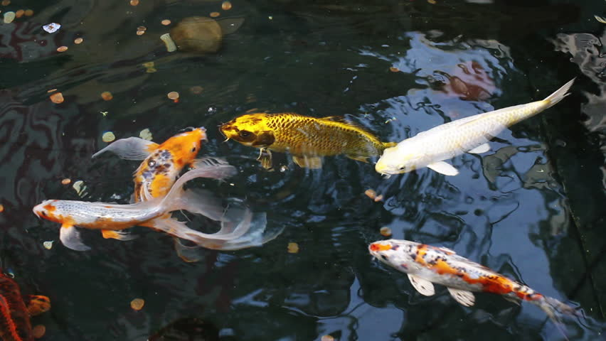Large koi and various other fish in a fountain swim close for Koi pond hd