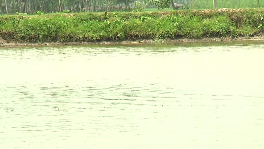 BANGLADESH - Aug 2010: Farmers herding cattle