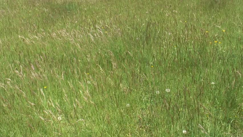 HD 1080i: Mountain grass swaying in the wind. Tripod. - HD stock footage clip