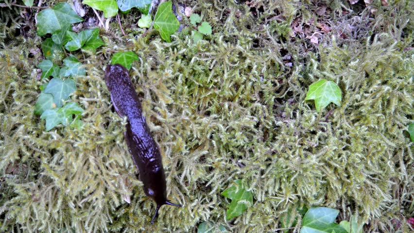 Large slug moving over the moss. - HD stock video clip