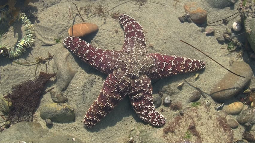 Maroon Starfish In Pacific Tide Pool - HD stock video clip