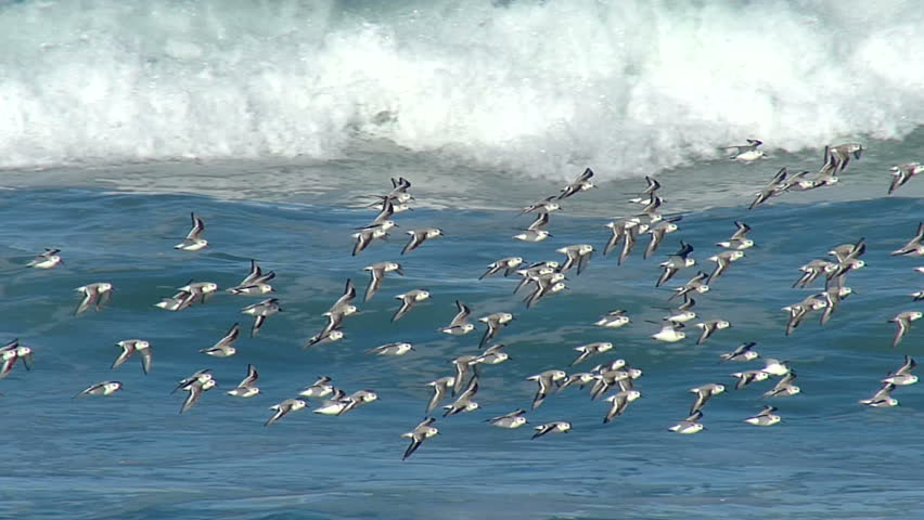 Flock of birds flying above the ocean waves in slow motion.