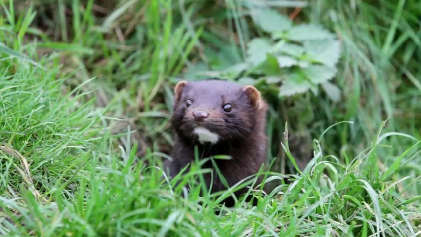 Header of American mink