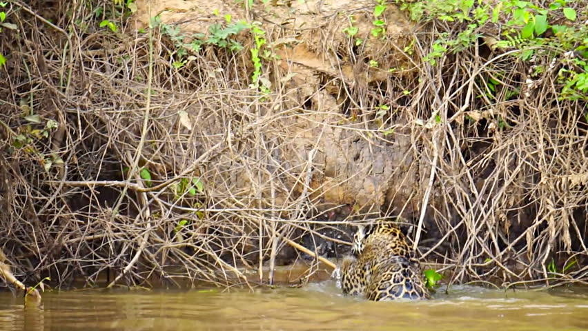 Rear view of Jaguar leaving river at riverbank in Pantanal wetlands, slow speed, Brazil