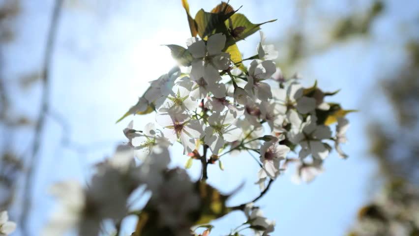 Tree cherry blossom Japanese Sakura trees white fruit Shinjuku Gyoen National Park nature outdoors Tokyo Japan - HD stock video clip