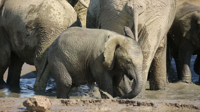 Playful African elephant baby (Loxodonta africana) splashing water, Addo Elephant National Park, South Africa