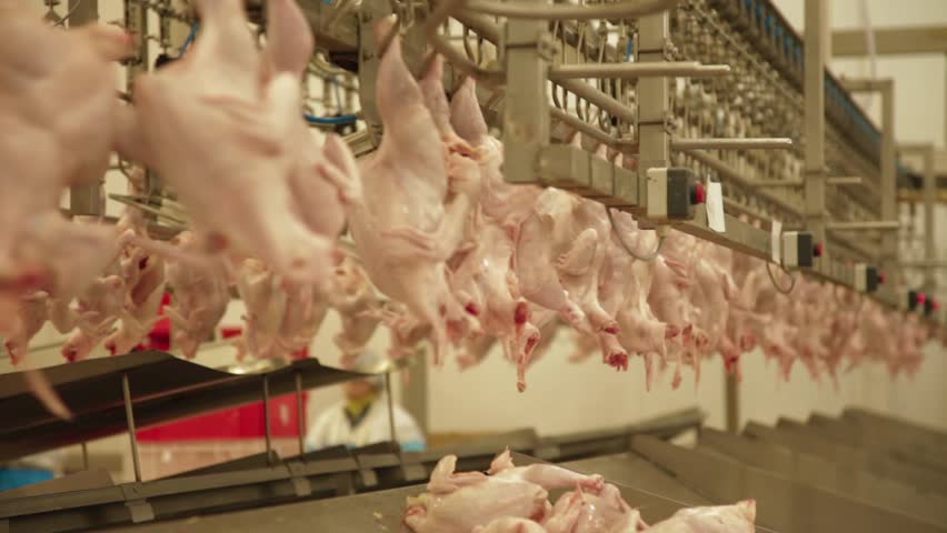 Production process in the chicken Slaughterhouse.