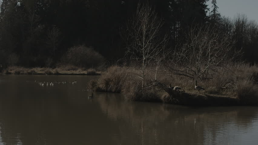 Wide shot of geese and ducks in a pond - HD stock video clip