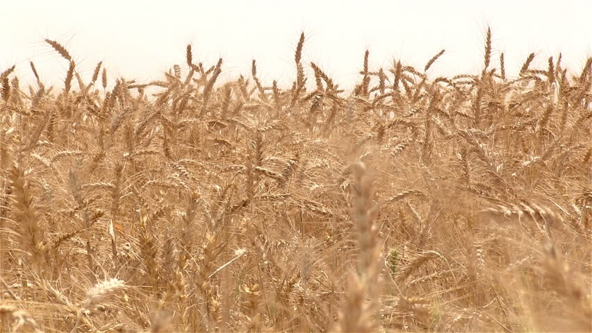 Wheat field.Stalks of wheat swaying in the wind. Golden wheat.