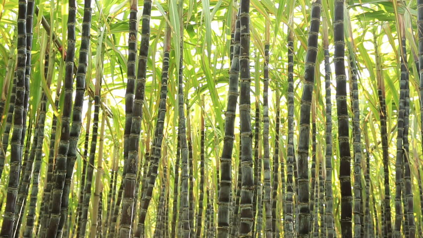 Stalk Of Sugarcane Being Planted Stock Footage Video ...