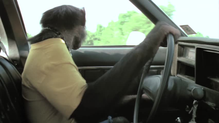 Steering Wheel Shaking >> Side View Of Monkey Driving Vintage Car On Country Road