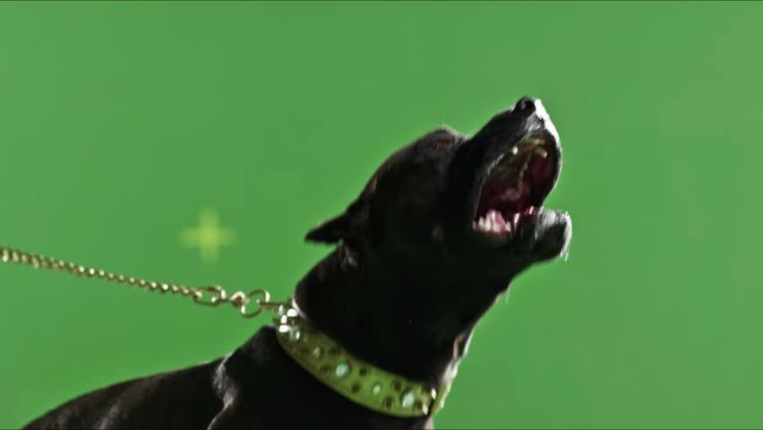 Real Black Pit Bull Dog Barking Green Screen Chroma Key