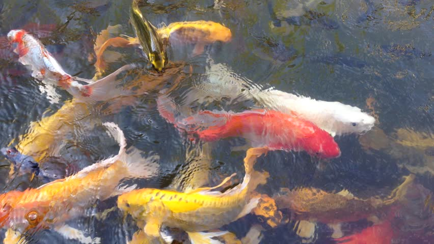 Koi fish japan fancy carp swimming in pond hd stock for Fancy koi fish