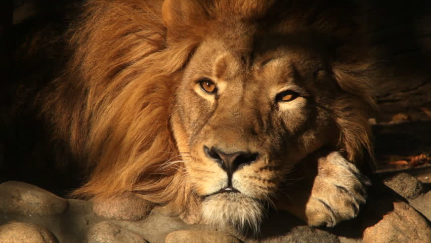 8k Animal Wallpaper Download: The Sunlit Head And Paw Of A Lion, Sleeping On Shadow