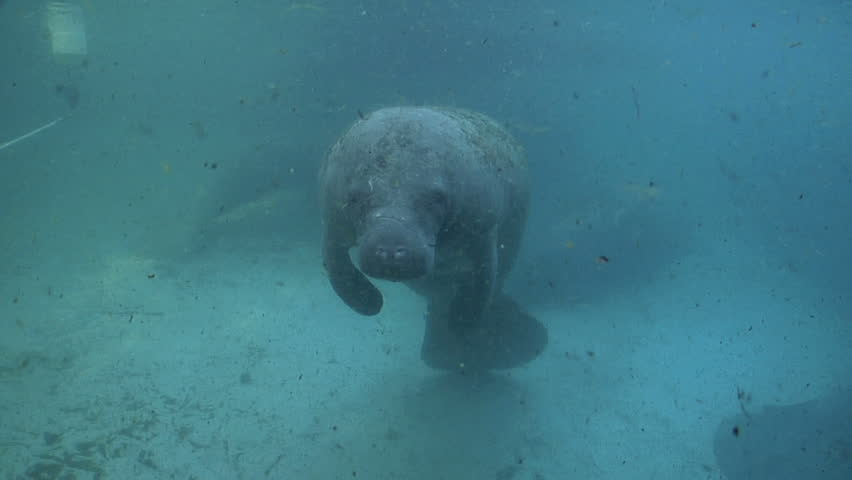 A West Indian Manatee makes a splash as it takes a breath. - HD stock footage clip