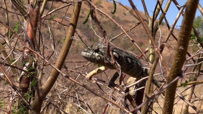 graceful chameleon at the back-up area of Madagascar Fianarantsoa, Madagascar July 2014 - HD stock video clip