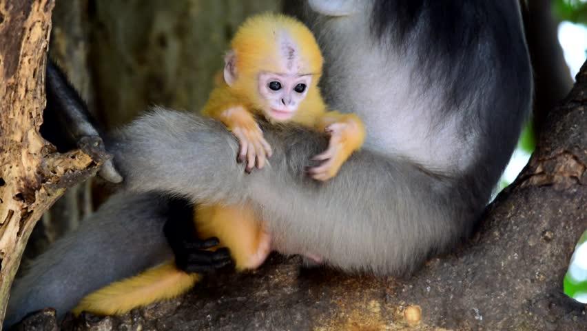 Dusky Langur ,leaf monkey baby  - HD stock footage clip