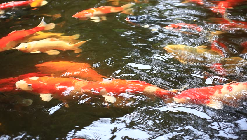 Koi fishes feeding in a pond close up hd 1920x1080 for Koi fish to pond ratio