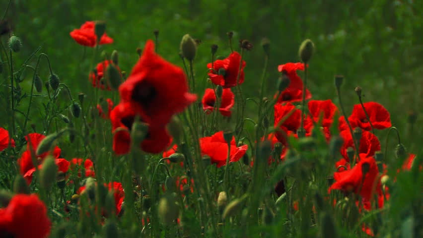 poppies in a field, 5 shots  - HD stock footage clip