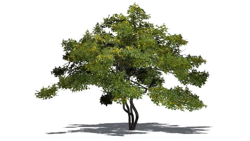 lemon tree with fruit in light wind