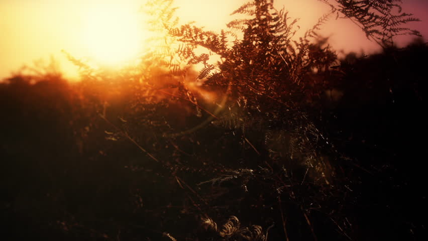 Fern leaves in silhouette and bright low Sun HD stock footage. A dramatic setting orange Sun over ferns on a Yorkshire Moor.