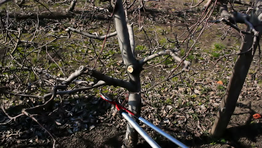 Pruning apple trees ; Fruit grower works pruning apple trees with garden shears ,video clip - HD stock video clip
