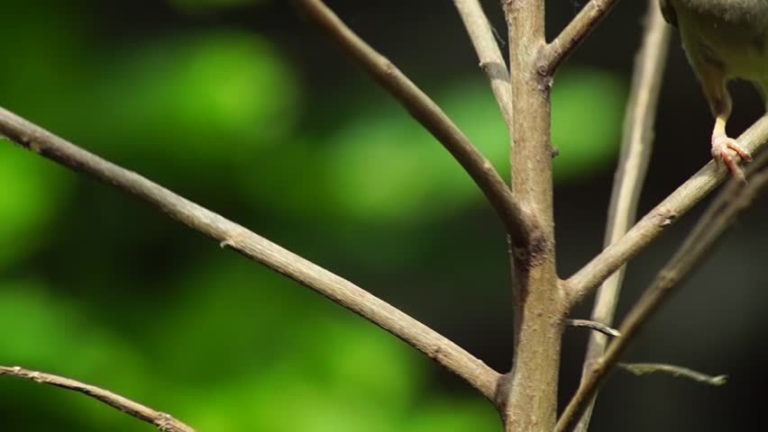 Bird Eurasian Tree Sparrow or Passer montanus perch on twig - HD stock video clip